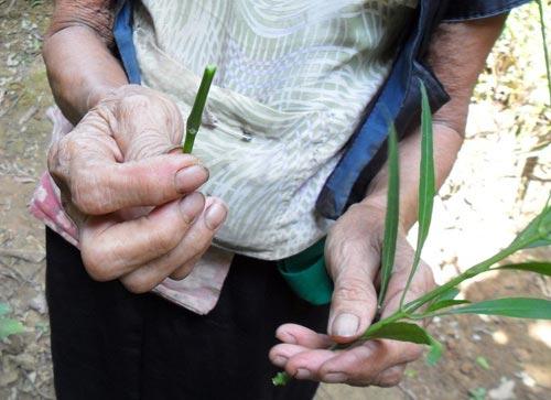 Nhiều bà lang dùng cành của một đoạn cây làm que để phá thai cho sản phụ (Ảnh minh họa)