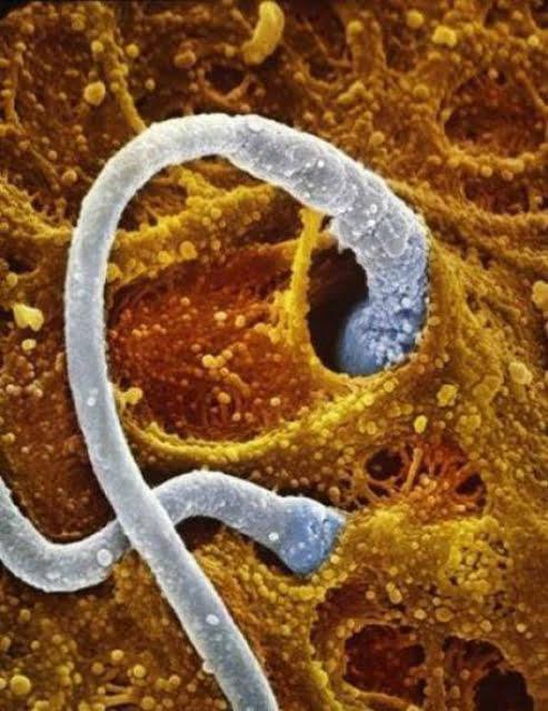 Hai tinh trùng tiếp cận với trứng.