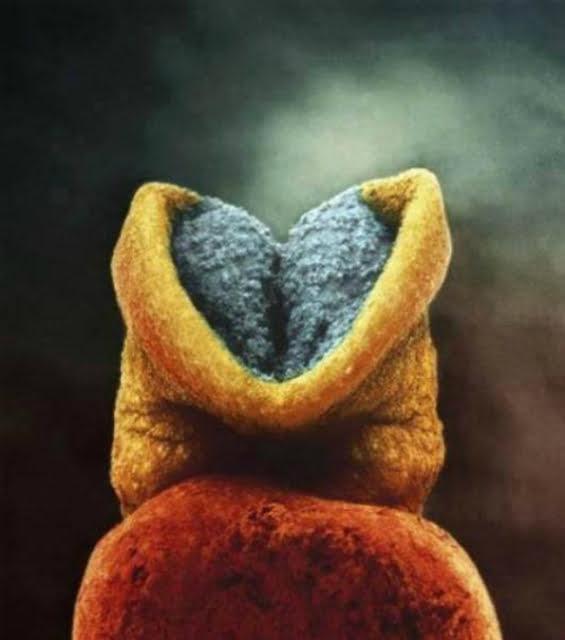 Bộ não bắt đầu phát triển trong phôi thai.